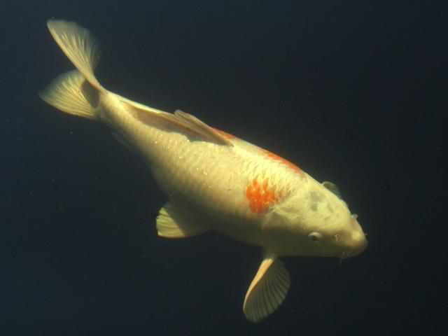 Heuft teichfische for Teichfische shop